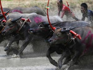 Film in Thailand buffalo race